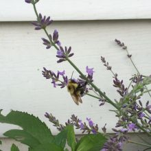 The bees love my lavender.